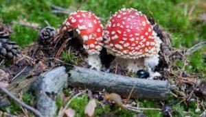 Muchomůrka-červená-mladičká-dvojice-300x171